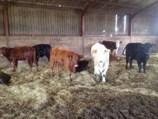 New Cattle