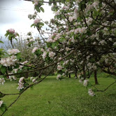 orchard blossom
